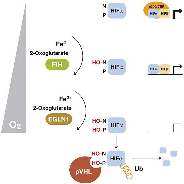 Рис. 3. Схема регулирования функции фактора HIF гидроксилазами.