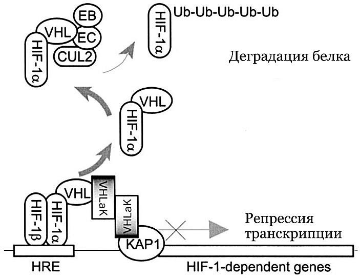 Рис. 4. Взаимодействие VHL и HIFα, реализующееся только при нормальном уровне доступа кислорода, но не при гипоксии, влечет за собой два рода событий.