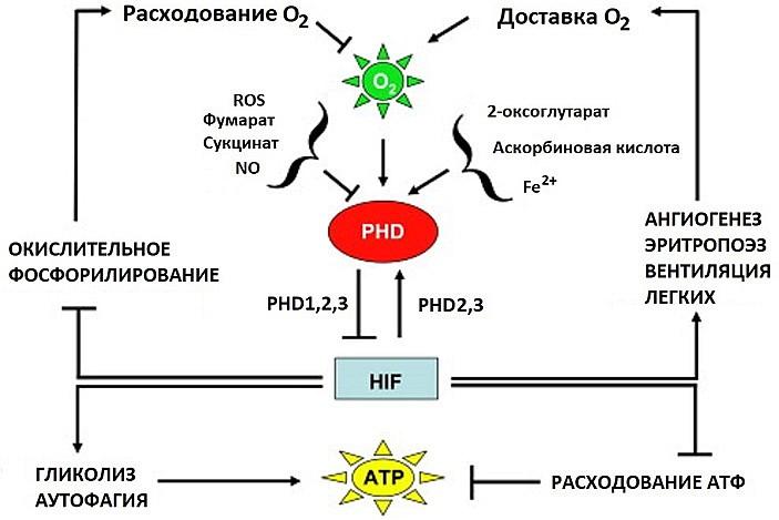 Рис. 5. Общая схема взаимных регуляций компонентов системы реакции на гипоксию.